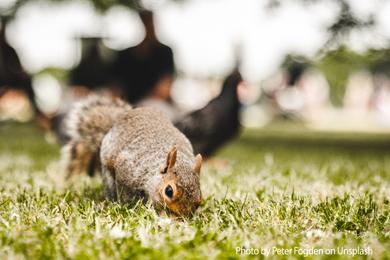 Britons should EAT grey squirrels