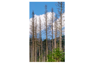 Spruce bark beetle and its impact on wood markets