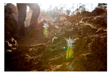 Pine seedling sales significantly exceed expectations