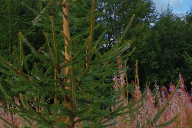 Forestry England takes part in 25-year Norway spruce provenance planting trial